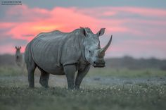 """A beautiful White Rhino (Ceratotherium simum) photographed at sunset in the African bush. This is how rhinos should be seen, in their natural terrain with room to roam. © Hendri Venter <a href=""""http://www.Digitalwild.co.za/"""">Website</a> Follow me on <a href=""""https://www.facebook.com/Digitalwild/"""">Facebook</a>"""