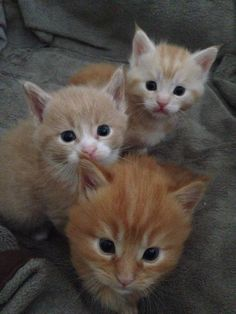 4 week old kittens. Mum is a Cream Maine Coon Dad is a massive Ginger Tabby.