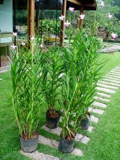 TERRA PRETA = Paisagismo+Projetos+Manutenção de Jardins: Trabalho do mês - Canteiro com Orquídea-bambu