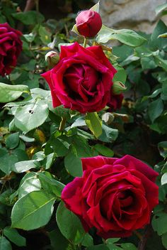 crimson glory rose -