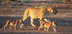 PETITION PLEASE SIGN & SHARE-Lioness and Two Cubs Shot While Eating Dinner: Hold Shooters Responsible