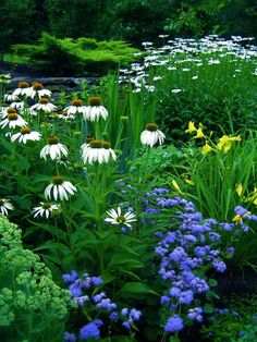 "Shasta daisies, Echinacea ""White Swan"", Blue Horizon Ageratum, Daylilies ""Suzy Wong"" and ""Happy Returns"", Sedum"
