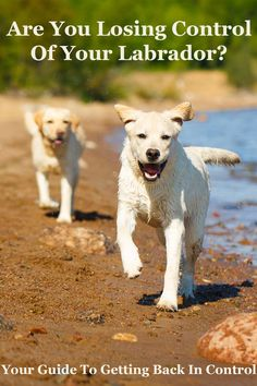 Losing control of your Labrador? Check out this article.