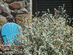 Buddleia marrubifolia / Wooly Butterfly Bush.