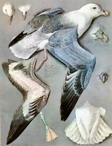 Tunnicliffe Society - Measured Drawings. Fulmar