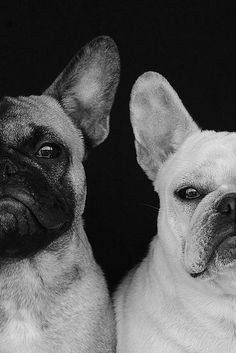 """We're just not barking and don't ask again!"""" #dogs #pets #FrenchBulldogs"""