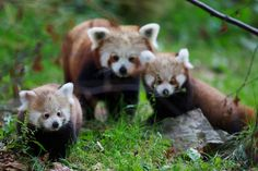 Red panda family at Dublin Zoo