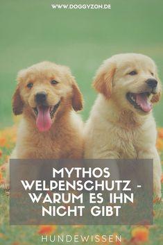 Welpenschutz ist ein heiß diskutiertes Thema. Erfahre hier, warum es ihn nicht gibt und was du in Hundebegegnungen beachten solltest!Welpenschutz | Welpe | Junghund | Hundekommunikation | Knurren | bellen | Hundeverhalten | Hundewissen |Hundesprache