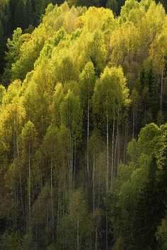 Aspens by szefi, via Flickr