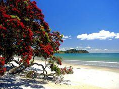 Pohutukawa - The New Zealand Christmas Tree.