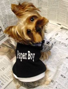 What a cute little Yorkie paperboy!