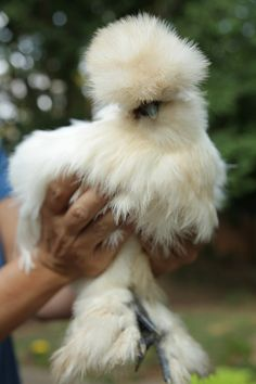 Sweet Peach - Home - Ellen DeHeneres & friends...this fancy chicken has a fancy coop
