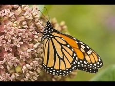 Genetically Engineered Crops Threaten Monarchs  http://www.honeycolony.com/article/genetically-engineered-crops-kill-monarchs/  Widespread planting of GM crops has precipitated the loss of more than 90% of monarch butterflies in the U.S. Find out what you can do to take action today on HoneyColony.  #Monarchs #pollinators #NOGMOs