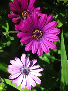 Here are some violet Daisies her in San Francisco. Here is a print of these flowers: http://www.zazzle.com/beautiful_pink_spring_flowers_canvas_print-192613585034007569 not much small.