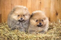 What are these two Pomeranian puppies watching?...find on fundogpics.com