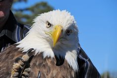 This majestic bald eagle would have died if the Arkansas Native Plant and Wildlife Rehabilitation Center had not volunteered their time  and resources to save this bird. It was released successfully back into the wild in Arkansas. Photo courtesy of Thunder TV.