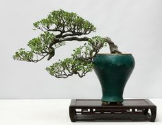 How Herb Back Garden Kits Can Get Your New Passion Started Off Instantly Bonsai Ikebana, Bonsai Styles, Miniature Trees, Bonsai Plants, Plant Art, Ficus, Green Plants, Indoor Plants, House Plants