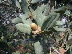 Discover the Spectacular Engelmann Oak