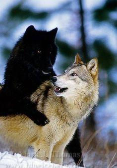 Beautiful Black Wolf And A White Wolf Beautiful Creatures Animals Beautiful Cute Animals