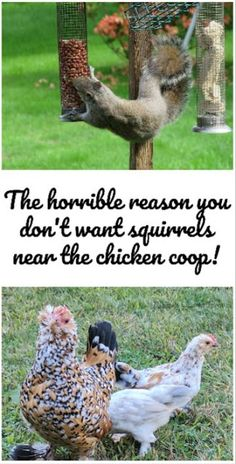 There's a horrible reason why you need to keep squirrels out of the chicken coop and away from your chickens. They eat eggs and chicks! Gross, but true.there are a few things you can do though, to keep squirrels out of your chicken coop! Portable Chicken Coop, Backyard Chicken Coops, Diy Chicken Coop, Backyard Farming, Chickens Backyard, Chicken Feed, Chicken Runs, Keeping Chickens, Raising Chickens