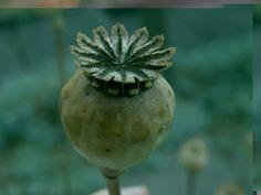 Poppy-Seed-Pod