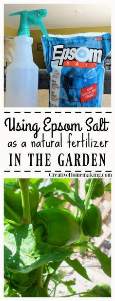Epsom salt can be used as a natural fertilizer in the garden. Used in a spray-on solution, it helps fight magnesium deficiency in tomatoes and bell peppers and promotes vegetable growth. #GardeningTips