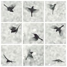 Set of 9 Junco in flight  Dark eyed Junco by mingtaphotography, $100.00