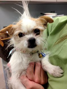 Fizzy Shih Tzu & Chihuahua Mix • Baby • Female • Small Mutts Matter Rescue Rockville, MD