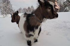 Ikolan museon Jemi ja Opri Joululomatekemistä Nurmeksessa - Julkaisusivu - Nurmes Finland, Goats, Cow, Culture, Animals, Museum, Animales, Animaux, Cattle