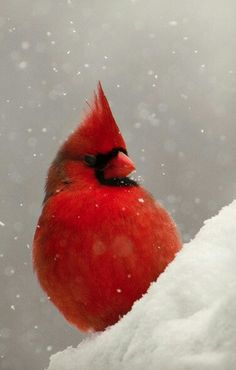 Cardinal in snowfall...