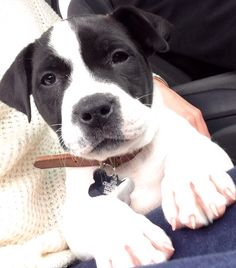 Lab American Bulldog Mix 8 Week Old Pup Animal Crackers