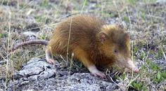 The Hispaniolan Solenodon: one of the world's weirdest mammals Unique Animals, Animals And Pets, Cute Animals, Weird Mammals, Science Fiction, Living Fossil, Creature Feature, Rodents, Fossils