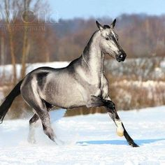 The horse is an Akhal Teke, a breed originating in Russia. They are elegant and refined, and have the most unusual metallic quality in their coats!