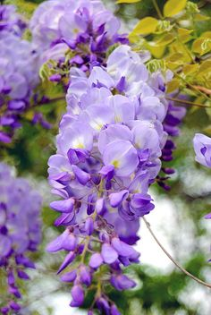 wisteria | Flickr - Photo Sharing! Фиолетовые Цветы, Красивые Цветы, Экзотические Цветы, Желтые Розы, Розовые Розы, Дерево Глицинии, Садоводство, Природа