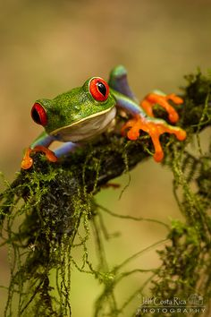 Red eyed - Tree frog by Jeff Costa Rica Photography, via Flickr