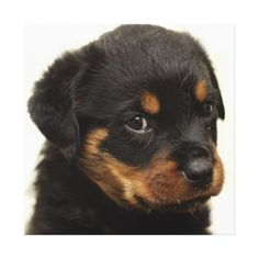 Cute rottweiler puppy canvas print - white gifts elegant diy gift ideas