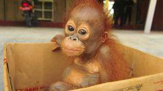 Where am I going. Cute Wild Animals, Cute Little Animals, Animals Beautiful, Animals And Pets, Funny Animals, Animal Pictures, Cute Pictures, Baby Chimpanzee, Monkey World