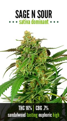Sage N Sour - The Green Solution - our favorite strain, possibly ever.