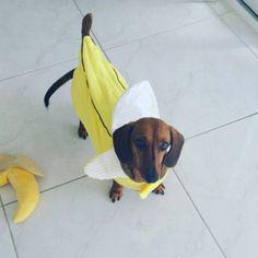 Por que não fantasiar o cachorro para o Halloween? Best Dog Costumes, Doberman Pinscher, Hot Dogs, Cute Pictures, Cute Animals, Pets, Bananas, Wallpaper, Halloween