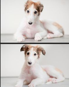 borzoi puppy by WildHorse馬烈