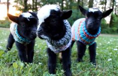 These Baby Goats in Tiny Sweaters Just Made Our Day  - CountryLiving.com
