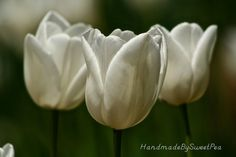 White Tulips Photography 8x10 Photograph by HandmadeBySweetPea, $15.00