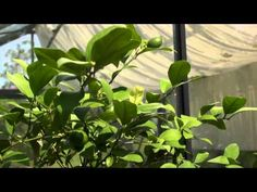 How to Grow a Lemon Tree | At Home With P. Allen Smith