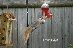 squirrel appreciation day, gray squirrel, bird feeder