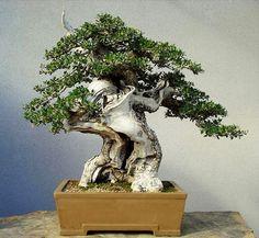 Image from http://bonsaibark.com/wp-content/uploads/o23.jpg.