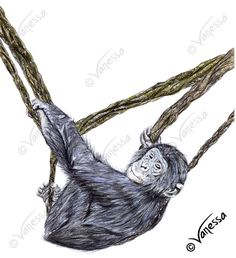 ORIGINAL Signed Full Colour Drawing of Baby Bonobo Chimp by VLGStudios Bonobo - Pan paniscus  Drawn in August 2016 as an original piece for my 2017 Earth's Treasures Calendar, using polychromo pencils, this original drawing is based upon a photograph taken of one of the adorable baby Bonobos at Twycross Zoo. Photo taken by Vanessa Grundy.