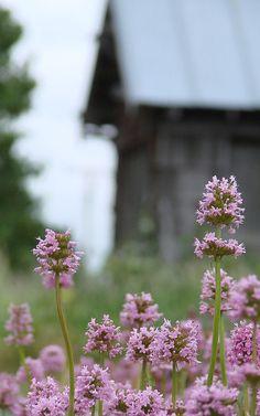 """Sea blush, Plectritis congesta, a Puget Sound prairie and coastal wildflower- (""""edgeplot""""-flickr)"""