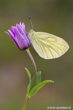 Yellow butterfly.  Pieris napi