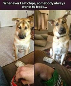 Sometimes a dog barking can be so funny. Check out these funny videos of dogs barking and puppies barking. A barking dog can make funny dog barking . Funny Animal Pictures, Cute Funny Animals, Funny Cute, Funny Dogs, Hilarious, Funny Photos, Random Pictures, Animal Pics, Funny Images