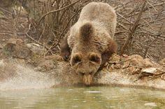 bear in lika-croatia